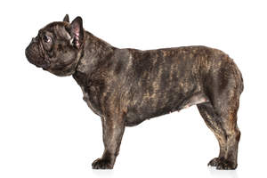 A healthy French Bulldog with a lovely thick, short coat