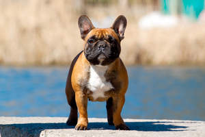 A healthy adult French Bulldog with a short, stocky body and upright ears