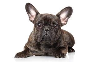 The lovely scrunched up face and tall, sharp ears of a young French Bulldog