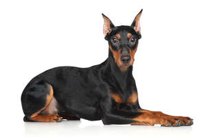 A lovely young German Pinscher lying down ready for a command