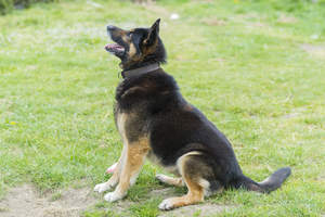 A German Shepherd sitting patiently, waiting for a set of commands