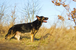 An adult German Shepherd's wonderful, long, muscular body