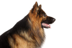 An adult German Shepherd with a long, black and fox