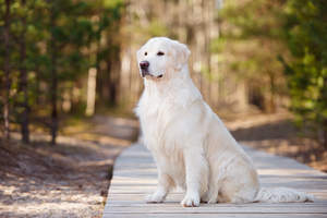 A beautiful Golden Retriever sitting neatly, showing off it's lovely coat