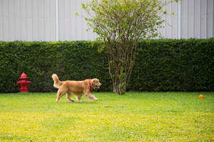 A healthy adult Golden Retriever playing with it's ball in the garden