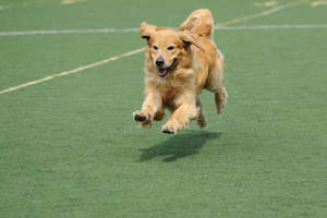 A wonderful adult Golden Retriever running at full pace