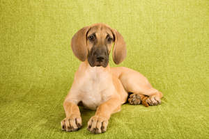A healthy, young Great Dane pup with wonderful big paws