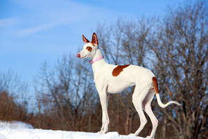 A beautiful Ibizan Hound out in the snow