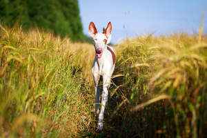 An Ibizan Hound with his ears alert strolling through a field