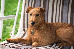 A lovely, little Irish Terrier relaxing on a chair