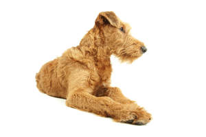 A lovely bearded Irish Terrier lying neatly with its paws close together