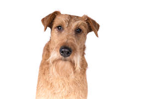 The characteristic wiry, blonde beard of an Irish Terrier