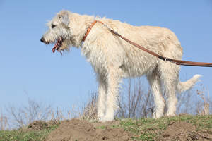 A great, big Irish Wolfhound with a wonderful, white, wiry coat