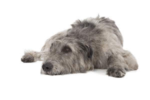 A relaxing Irish Wolfhound ready to have a nap