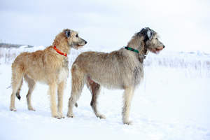 Two wonderful Irish Wolfhounds enjoying some exercise in the snow