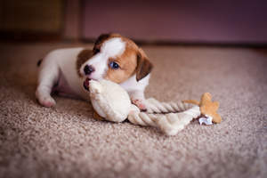 A healthy, young Jack Russell Terrier puppy chewing on a toy
