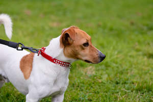 A healthy, young adult Jack Russell Terrier with a beautiful, soft, short coat