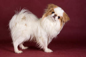 A beautiful little Japanese Chin with a long soft brown and white coat