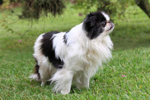 An adult Japanese Chin standing tall, waiting for its next command