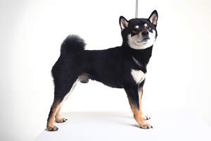 A beautiful little Japanese Shiba Inu puppy with a lovely thick coat