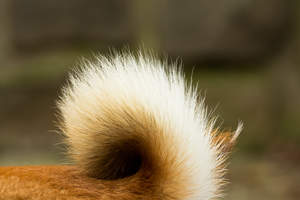 A close up of a Japanese Shiba Inu's distinctive bushy tail