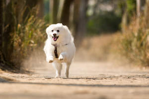 A Japanese Spitz at full pace bounding towards its owner