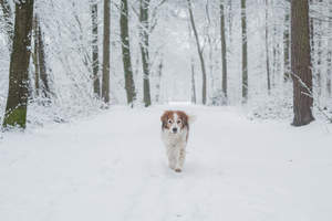 A healthy adult Kooikerhondje getting some exercise in the snow