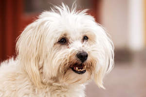 A close up of a Maltese's healthy, soft white coat and brown beard