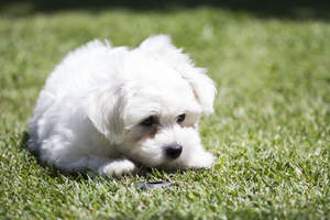 An inquisitive little Maltese pup, inspecting the grass