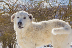 A strong and brave Maremma Sheepdog ready to protect a flock