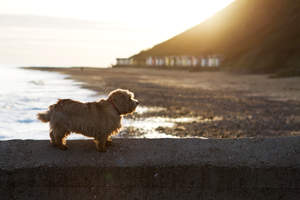 A lovely, little adult Norfolk Terrier resting on the wall next to the beach