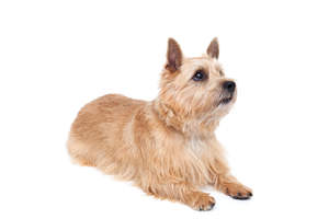 A beautiful adult Norwich Terrier showing off it's wonderful pointed ears