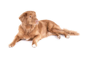 a Nova Scotia Duck tolling retriever with a lovely soft coat relaxing