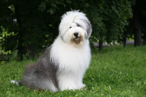A Old English Sheepdog, sitting beautifully, waiting for a command