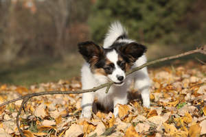 A Papillon biting off more than he can chew on a walk