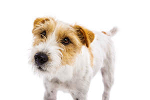 A close up of a Parson Russell Terrier's wonderful scruffy beard
