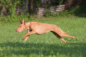A healthy female Pharaoh Hound running at full pace