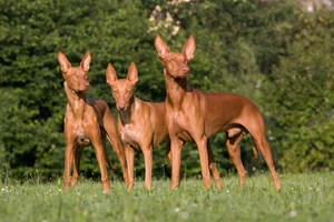 Three Pharaoh Hounds standing tall, showing off their wonderful, pointed ears