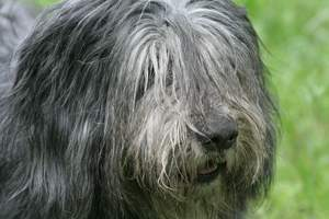 A close up of a Polish Lowland Sheepdog's incredible long coat
