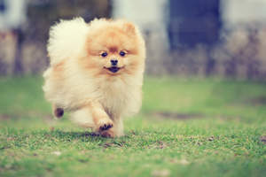 A young Pomeranian jogging, showing off it's lovely, bushy coat