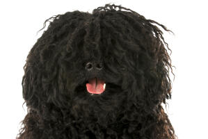 A close up of an adult Puli painting, with beautiful, curly cords