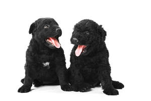 Two beautiful, little Puli puppies sitting next to each other, panting