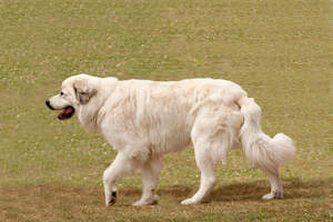 A Pyrenean Mountain Dog strolling, with a long, thick white coat