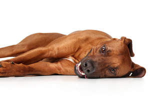 A beautiful, young Rhodesian Ridgeback puppy spreading out across the floor