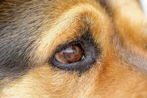 A close up of a Rottweiler's wonderful eye