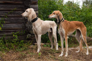 Two healthy adult Salukis each with a beautiful, slender physique
