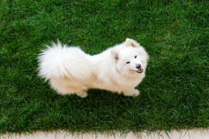 A healthy Samoyed with a wonderful bushy tail and a thick, white coat