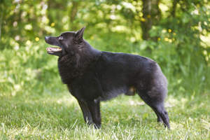 A healthy adult Schipperke standing tall, showing off it's wondeful physique