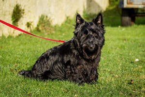 A Scottish Terrier with a lovely, thick, black coat