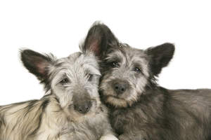 Two Skye Terrier's resting their head against each other